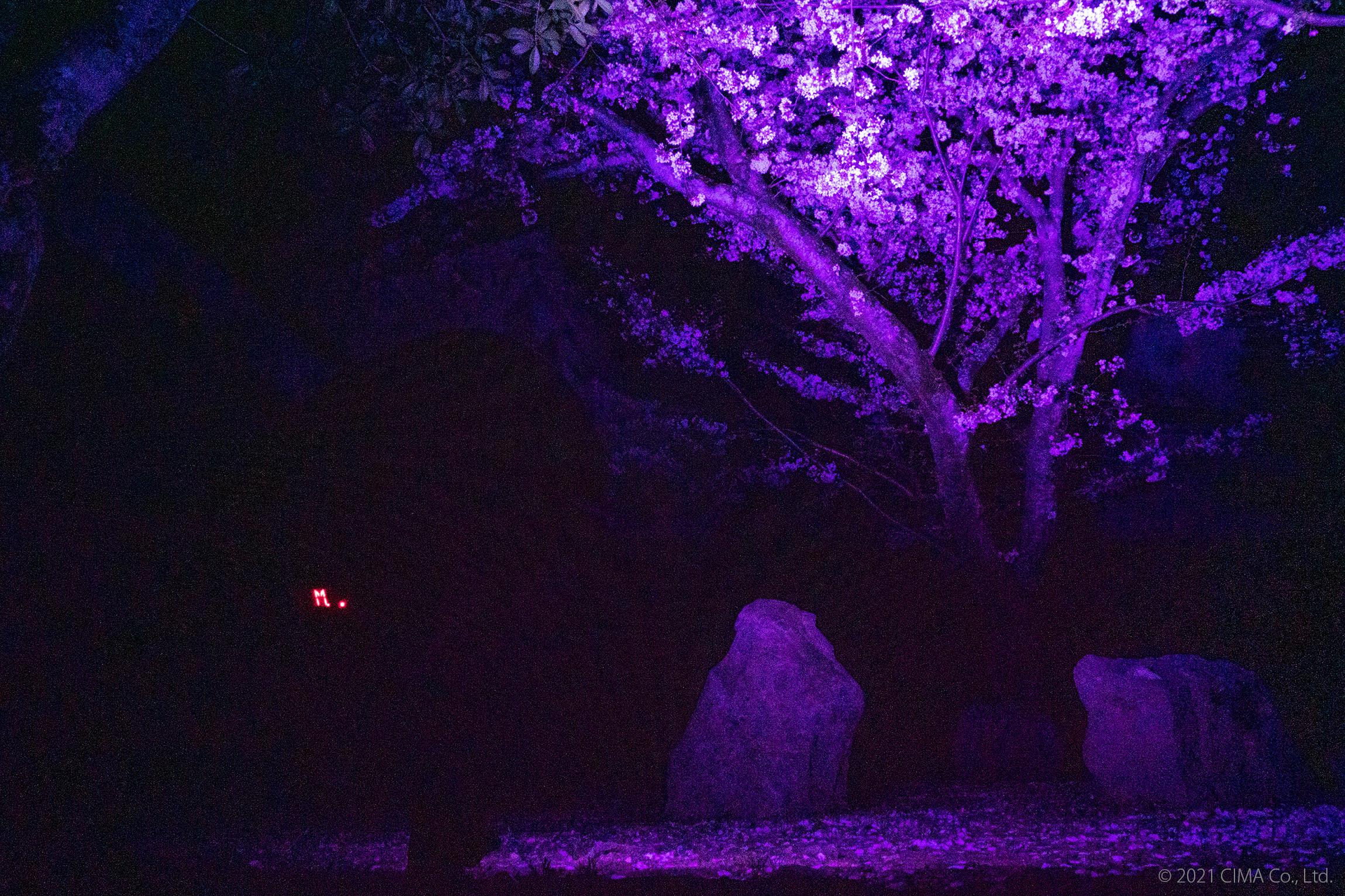 姫路城,桜ライトアップ